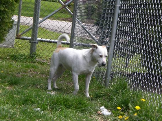 Poochie Labrador Retriever 1
