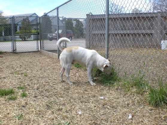 Poochie Labrador Retriever 2
