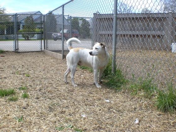 Poochie Labrador Retriever 3