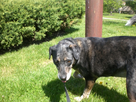 Roxie Cattle Dog 2