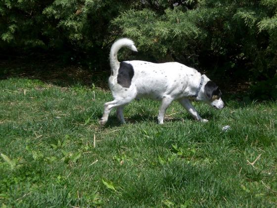 Lincoln Beagle 1