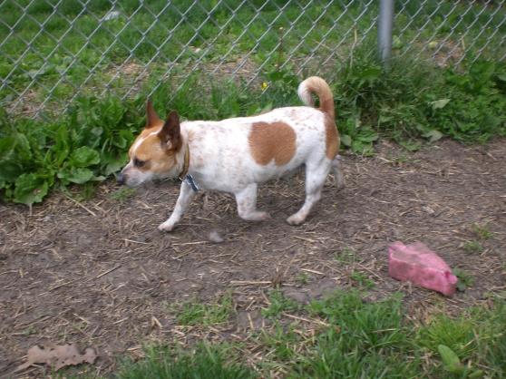 Fumble Chihuahua 1