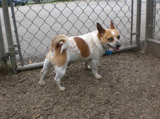 Fumble Chihuahua 2