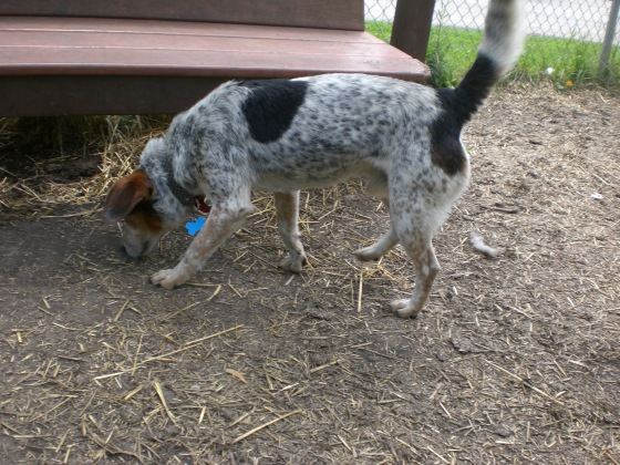 Beau Australian Cattle Dog 1