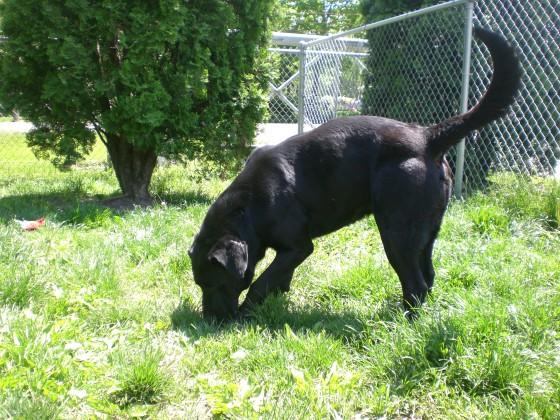 Chubby Black Labrador Retriever 2