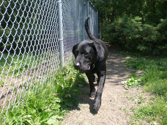Chubby Black Labrador Retriever 3