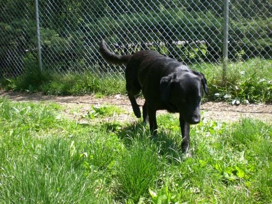 Tubby Black Labrador Retriever 3