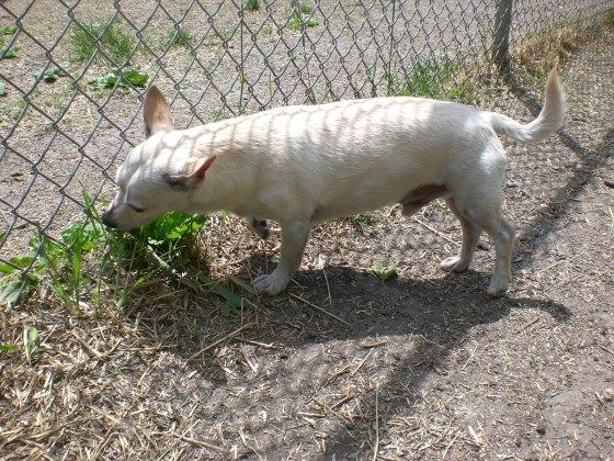 Lucky Chihuahua 3