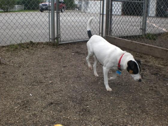 Cosmo Fox Terrier 1