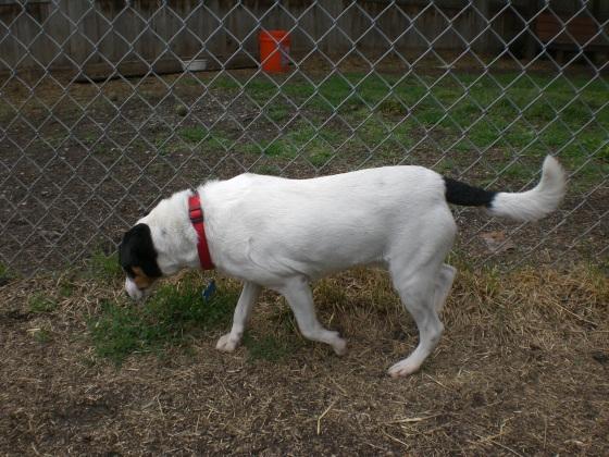 Cosmo Fox Terrier 2