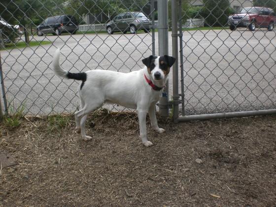 Cosmo Fox Terrier 3