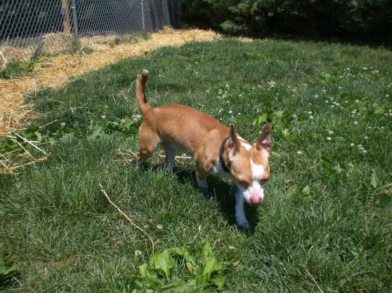Clay Chihuahua 1