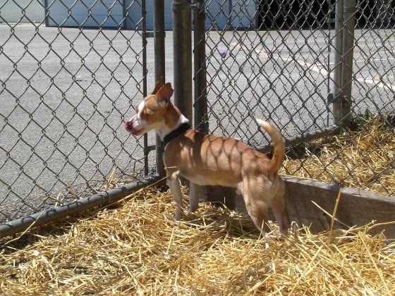Clay Chihuahua 2