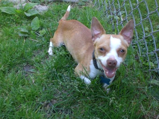 Clay Chihuahua 3