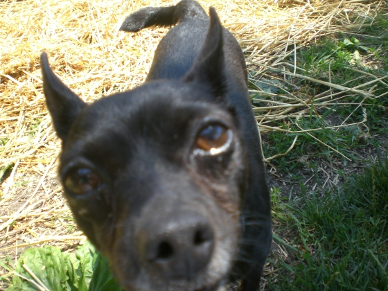 Jax Chihuahua 2
