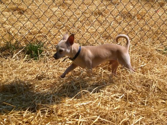 Blitz Chihuahua 3