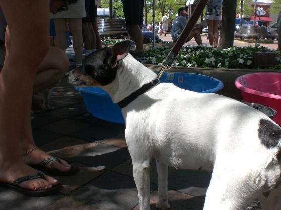 Suki Rat Terrier mix
