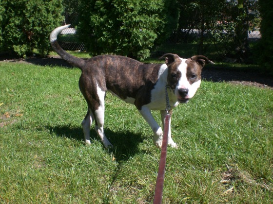 Nena Pit Bull Terrier 1