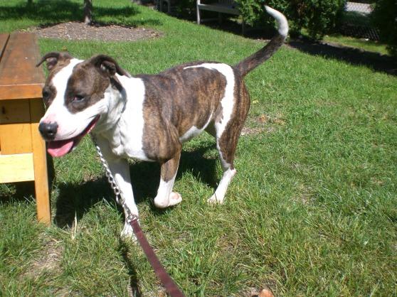 Nena Pit Bull Terrier 2