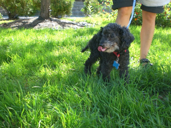 Nugget Toy Poodle 1