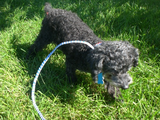 Nugget Toy Poodle 2