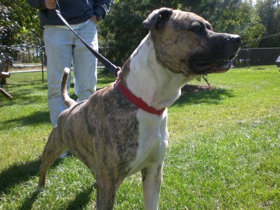 Domino Pit Bull Terrier 1