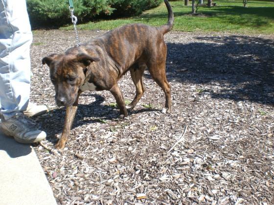 Mia Pit Bull Terrier 1