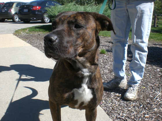 Mia Pit Bull Terrier 2