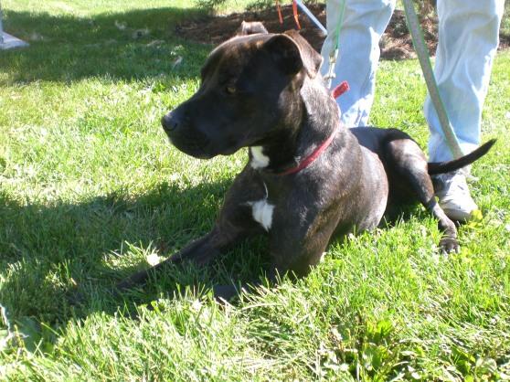 Karma Pit Bull Terrier 1