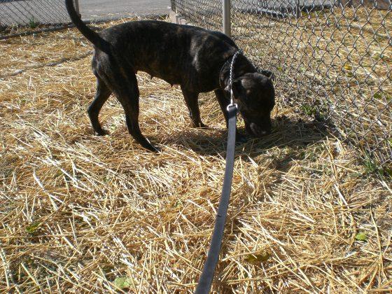 Sloan Pit Bull Terrier 1