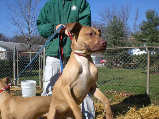 Winnie Pit Bull Terrier 2