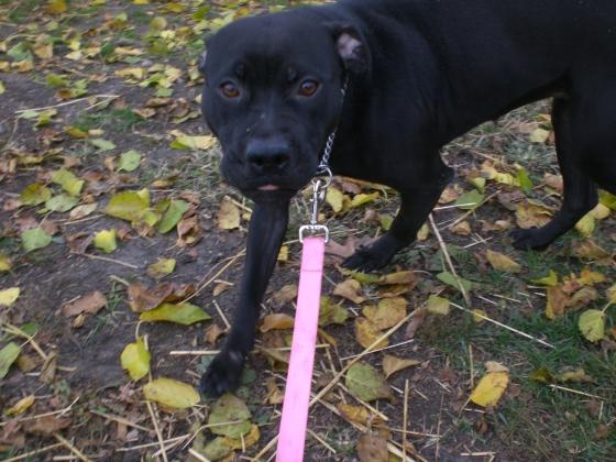 Samba Pit Bull Terrier 1