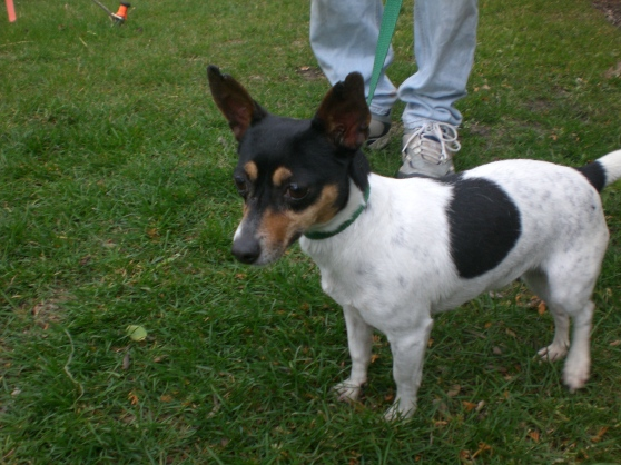 Quiz Parson Russell Terrier 1