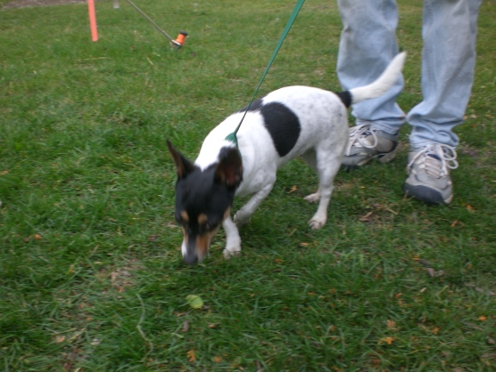 Quiz Parson Russell Terrier 2