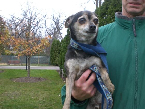 Hershey Chihuahua 1