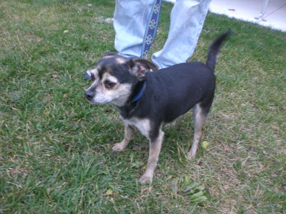 Hershey Chihuahua 2