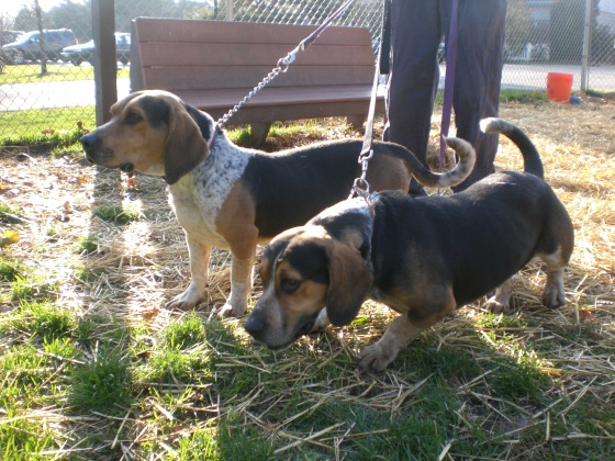Warren and Andy Basset Hounds 2