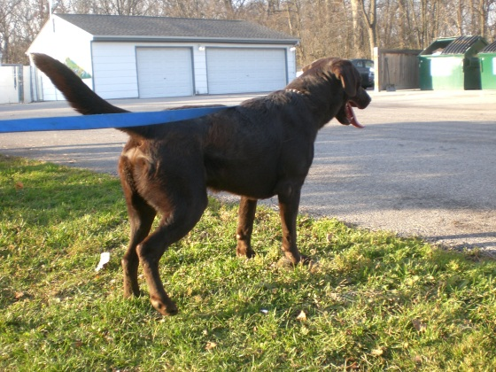 Coco Chocolate Labrador Retriever 1