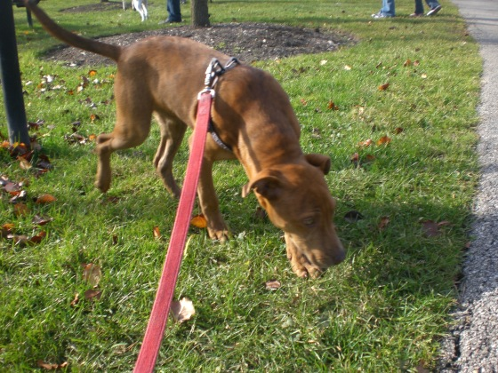 Willy Shepherd Pit Bull Terrier Mix 1