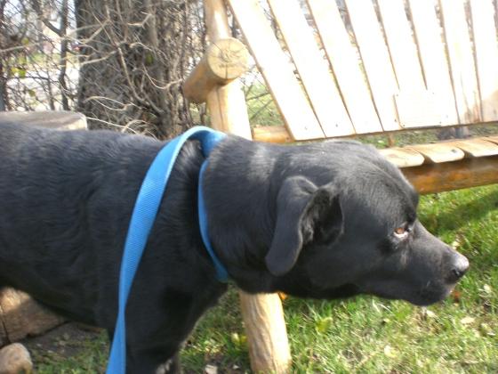 Cozumel Black Labrador Retriever 1