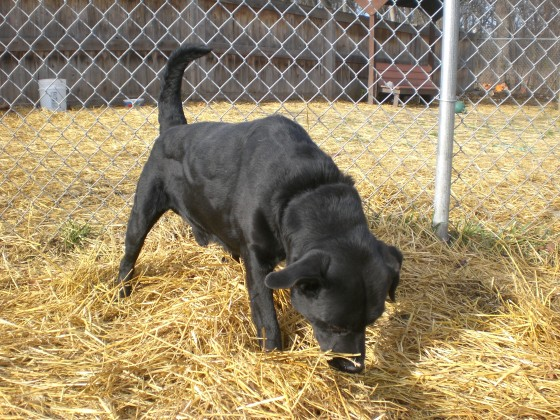 Cozumel Black Labrador Retriever 2