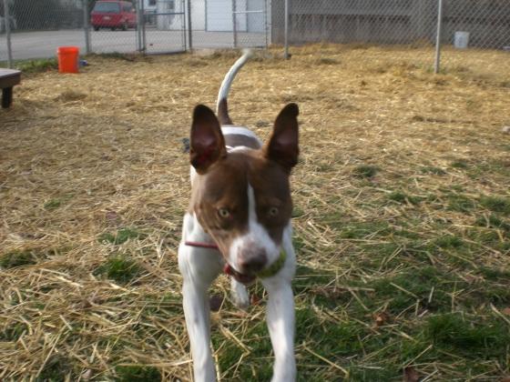 Greta Pit Bull Terrier 1