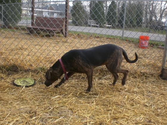 Tillie Pit Bull Terrier 1