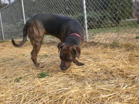 Tillie Pit Bull Terrier 2