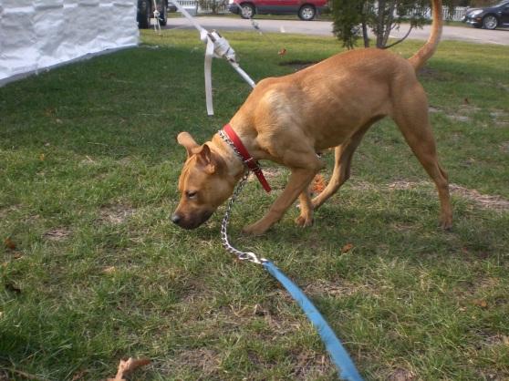 Mollie Pit Bull Terrier Labrador Retriever mix