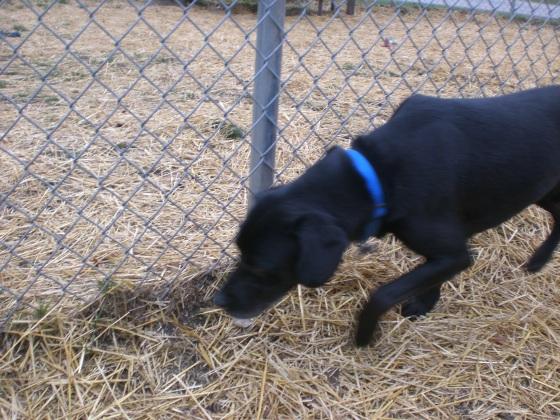 Black Jack Black Labrador Retriever 1