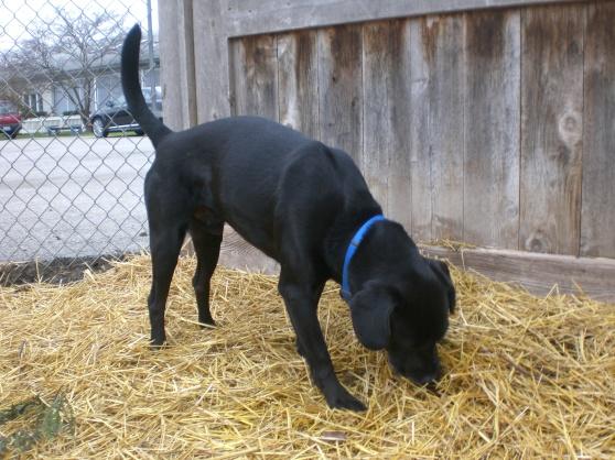 Black Jack Black Labrador Retriever 2
