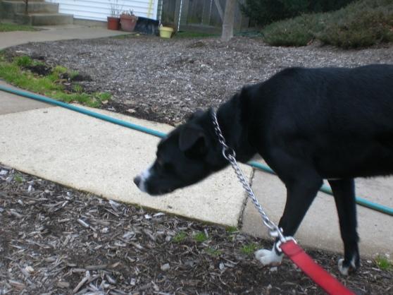 Yeager Labrador Retriever Mix 1