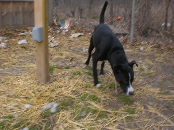 Yeager Labrador Retriever Mix 2