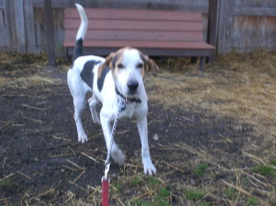 Barney Treeing Walker Coonhound 1
